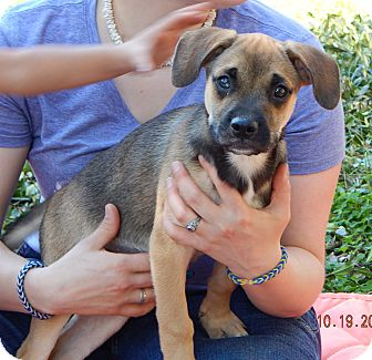 German Shepherd Dog/Australian Shepherd Mix Puppy for adoption in Niagara Falls, New York - Bear (15 lb) Video!