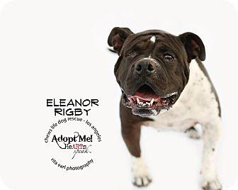 American Bulldog Mix Dog for adoption in Los Angeles, California - Eleanor Rigby