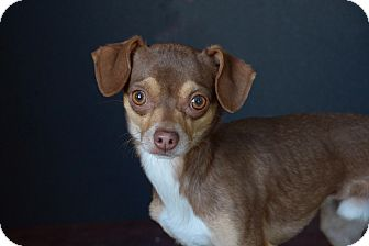 Chihuahua Dog for adoption in Van Nuys, California - Jax