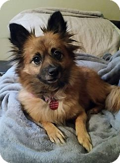 Pomeranian Mix Dog for adoption in Urbana, Ohio - Wanda West
