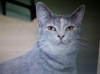 Domestic Shorthair Cat for adoption in Parker Ford, Pennsylvania - Pearl