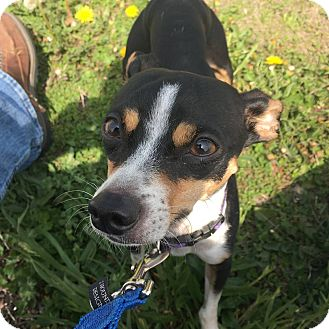Chihuahua/Rat Terrier Mix Dog for adoption in Anderson, Indiana - Cain