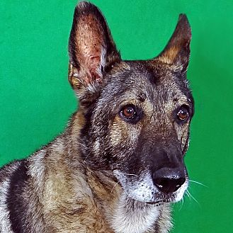 German Shepherd Dog Mix Dog for adoption in Renfrew, Pennsylvania - Berlin