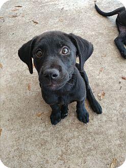 Labrador Retriever Mix Puppy for adoption in Umatilla, Florida - Pebbles
