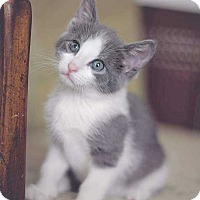 Adopt A Pet :: Dart - Aurora, CO
