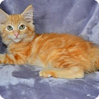 Maine Coon Kitten for adoption in Buford, Georgia - August