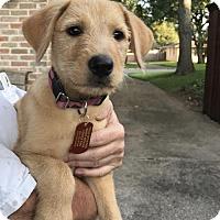 Adopt A Pet :: Vixie - Denton, TX