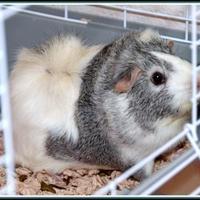 Adopt A Pet :: PICACHU - Frederick, MD