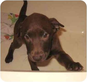 Labrador Retriever/Shar Pei Mix Puppy for adoption in Kansas City, Missouri - Brandy