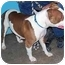 Photo 3 - Pit Bull Terrier Dog for adoption in YERINGTON, Nevada - SWEET VIOLET