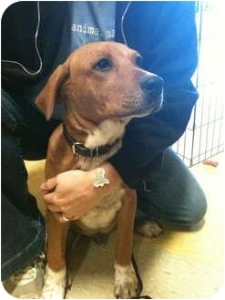 Shepherd (Unknown Type)/Jack Russell Terrier Mix Dog for adoption in Houston, Texas - Rudy