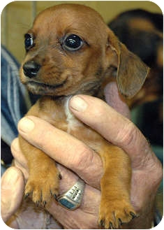 Dachshund Mix Puppy for adoption in Ripley, Tennessee - Eclair's Puppies
