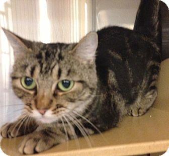 American Shorthair Cat for adoption in Hendersonville, Tennessee - Serabi