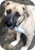 Boxer/Shepherd (Unknown Type) Mix Dog for adoption in Nashville, Tennessee - Levi