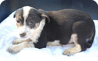 German Shepherd Dog/Australian Shepherd Mix Puppy for adoption in Media, Pennsylvania - Zippo