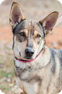 German Shepherd Dog/Cattle Dog Mix Dog for adoption in Marietta, Georgia - Molly