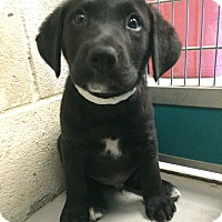 Adopt A Pet :: Teddy (Patriotic Pup) - Cumming, GA