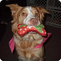 Adopt A Pet :: Stella - New Boston, NH