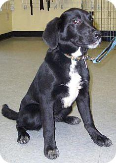 Labrador Retriever Puppy for adoption in Kirkland, Quebec - Nellie