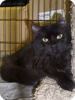 Domestic Longhair Cat for adoption in East Brunswick, New Jersey - Fluff