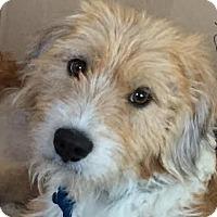 Adopt A Pet :: Owen - Minneapolis, MN