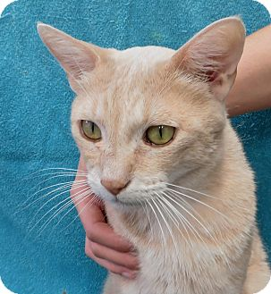 Domestic Shorthair Cat for adoption in Davis, California - Couga