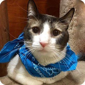 Snowshoe Cat for adoption in Long Beach, New York - Cheetah