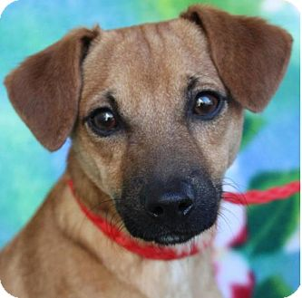 Terrier (Unknown Type, Small) Mix Dog for adoption in Red Bluff, California - TAKI