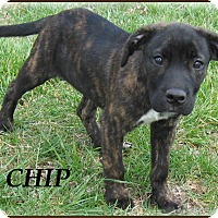 Adopt A Pet :: Chip - Marlborough, MA