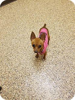 Chihuahua Dog for adoption in Goodyear, Arizona - Dani Babi