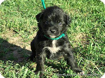 Boston Terrier/Shih Tzu Mix Puppy for adoption in PRINCETON, Kentucky - LARRY/in Maine