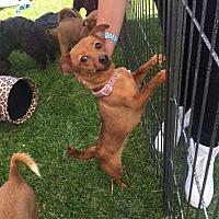 Adopt A Pet :: Scarlett - Vacaville, CA