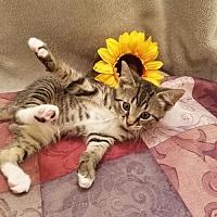 Adopt A Pet :: Charley -CH KITTEN - Fayetteville, GA