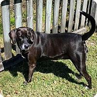 Adopt A Pet :: Bella Dee* - Tampa, FL