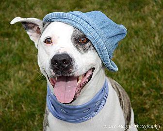 American Staffordshire Terrier/American Bulldog Mix Dog for adoption in Laingsburg, Michigan - Duke