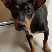 Doberman Pinscher/Corgi Mix Dog for adoption in Mesquite, Texas - Tucker