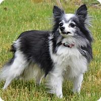 Adopt A Pet :: Paloma - Salem, OR