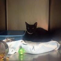 Adopt A Pet :: neil de'cat' tyson - Muskegon, MI