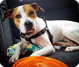 Bulldog/Mixed Breed (Large) Mix Dog for adoption in FOSTER, Rhode Island - Sparky