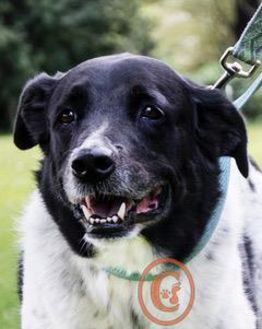 Border Collie Mix Dog for adoption in Fort Lupton, Colorado - Ivan