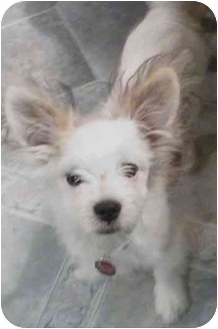 Papillon/Maltese Mix Puppy for adoption in Dayton, Ohio - Pappi