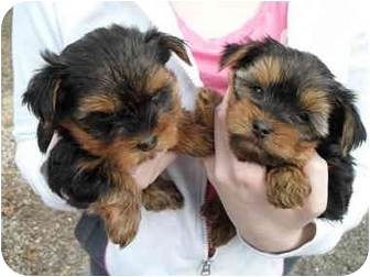 Yorkie, Yorkshire Terrier Puppy for adoption in Lonedell, Missouri - Davey's 2 Brothers