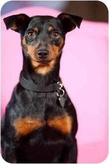 Miniature Pinscher Dog for adoption in Portland, Oregon - Duke