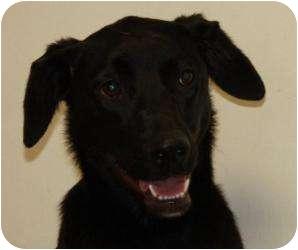Labrador Retriever Mix Dog for adoption in Belleville, Illinois - Molly
