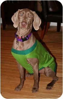 Weimaraner Dog for adoption in Grand Haven, Michigan - Jorga