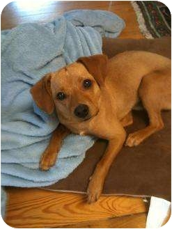 Terrier (Unknown Type, Medium)/Chihuahua Mix Dog for adoption in Hamburg, Pennsylvania - Little Red