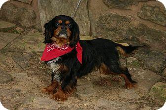 Cavalier King Charles Spaniel Dog for adoption in Muldrow, Oklahoma - Reggie
