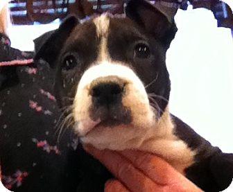 Labrador Retriever/Boxer Mix Puppy for adoption in Nuevo, California - Bam Bam