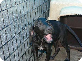 Hound (Unknown Type) Mix Puppy for adoption in Mechanicsburg, Pennsylvania - Cha-Cha Charlie