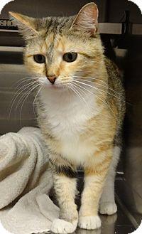 Domestic Shorthair Cat for adoption in Marietta, Georgia - EVA